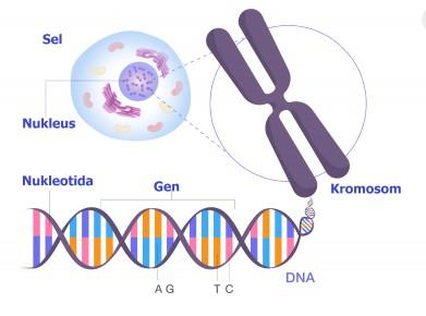 Bagaimana keterkaitan antara kromosom DNA dan inti sel