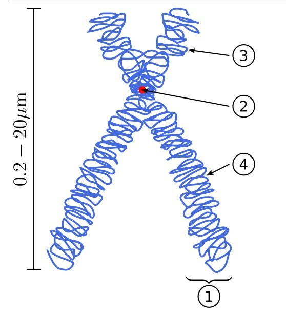 apa yang dimaksud dengan kromosom