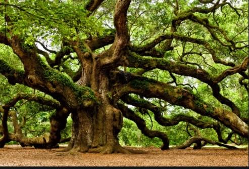 pohon ek atau oak banyak dijumpai dan tumbuh dengan baik di negara